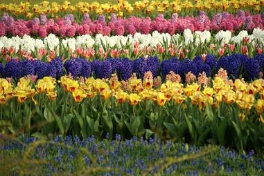 Keukenhof Flower Garden Amsterdam